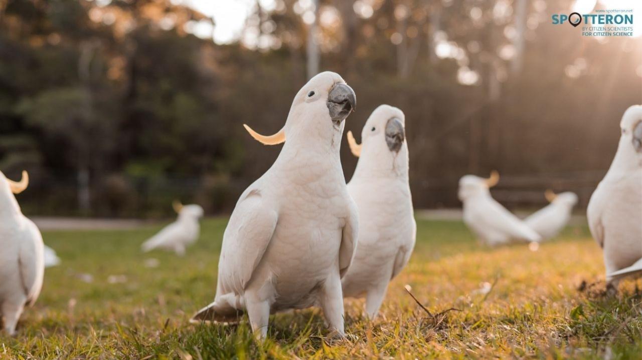 Big City Birds - A Citizen Science Success Story from Australia