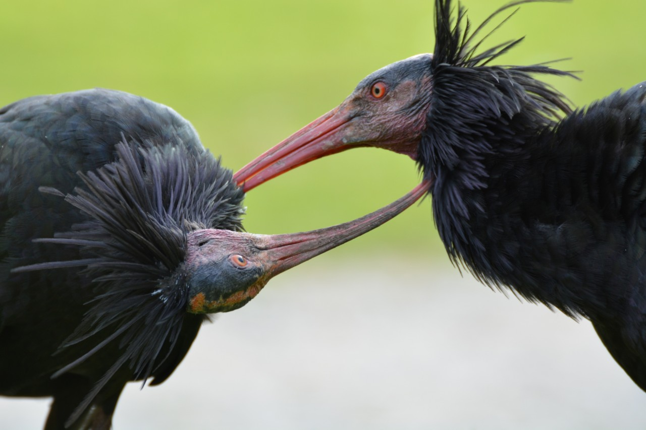 Hey Citizen Scientists, want to name some Northern Bald Ibis Chicks?